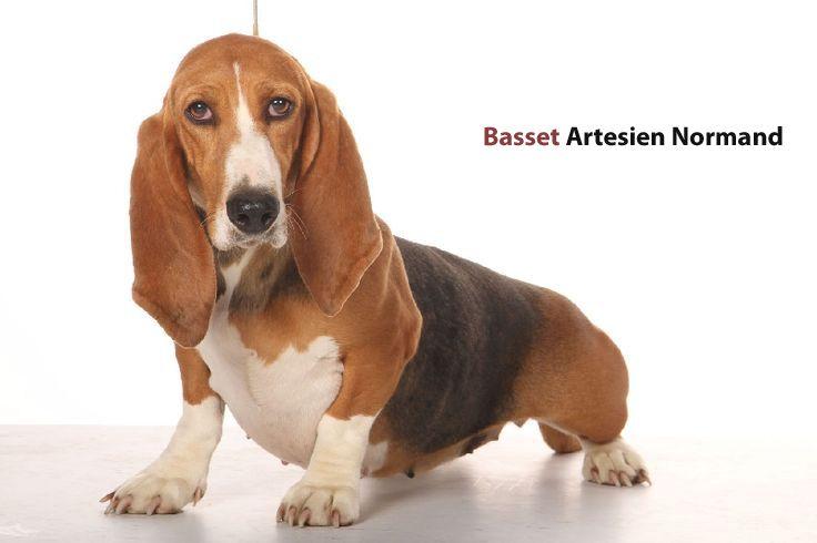 Elite Basset Hounds - Basset Hounds, Miniature Basset Hounds, Basset Hound Puppies For Sale