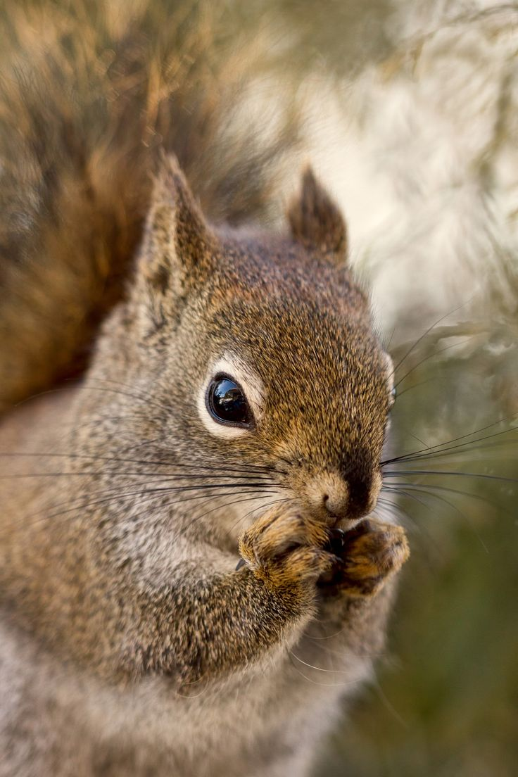 345 best tiere images on pinterest animals squirrels and squirrel