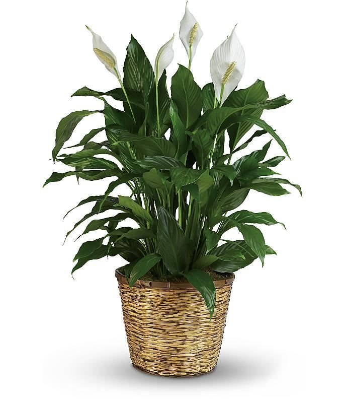 Every flower, when tastefully arranged, is appropriate for expressing condolences. Designs that are going to a memorial or funeral service usually have larger flowers to create dramatic tributes. Buy the beautiful plant at just $50.00.  #funeral #flowers