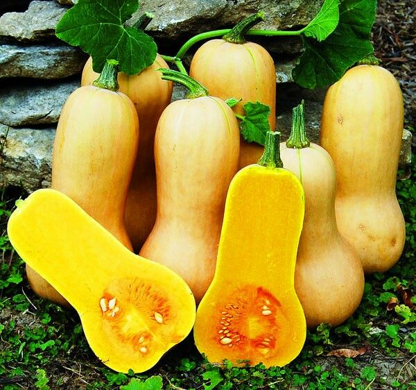 Labu butternut waltham Just 10k for 5 seed Contact wa 085777119992