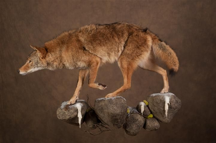 Mammals Of The Month September 2013 Taxidermy And