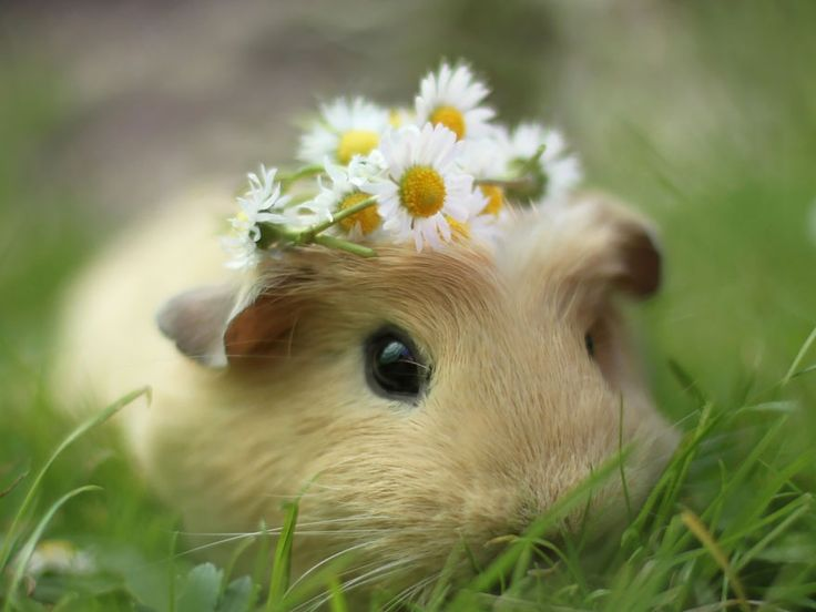 "Meet Booboo, an adorable guinea pig that is the muse of a photographer who goes by the nickname ""Lieveheerbeestje."" Her photos of little Booboo and her friends look like professional fashion shots for Guinea Pig Vogue magazine: they wear hipster glasses, bathe in pink tubs, pose with cute fluffy rabbit ears, nom nom on some daisies and wear ribbons in their hair."
