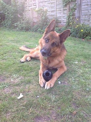 Thanks to the quick actions of his owner, 9 year old male German Shepherd, Keeno survives life threatening GDV/bloat