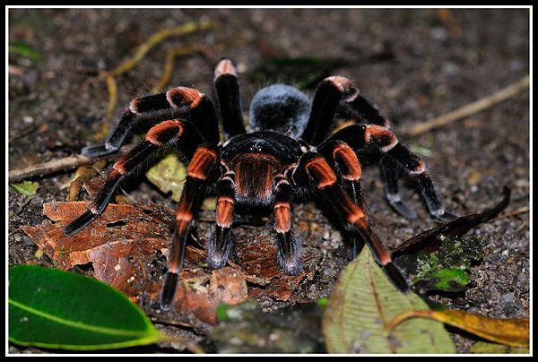 Rotknievogelspinne wurde in Costa Rica, Santa+Elena aufgenommen und hat folgende Stichwörter: Spinnen, Fr, Nachtaktive Tiere.