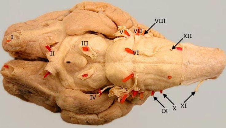 Tα 12 εγκεφαλικά νεύρα και οι λειτουργίες τους