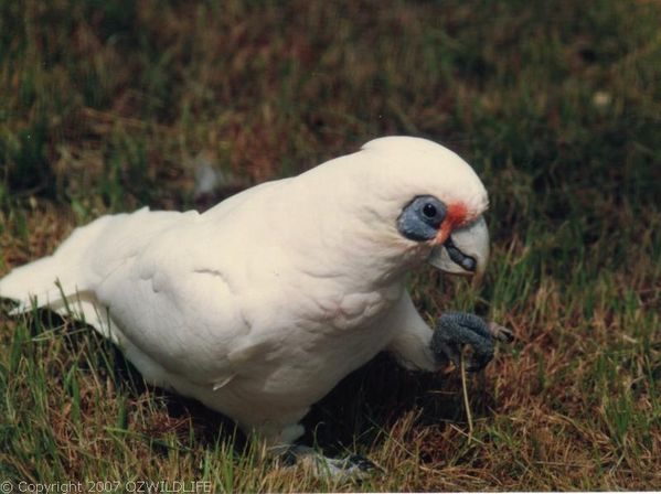 This is a Corella - the short-beaked variety. There is also a long-beaked Corella, but we don't get them here. We don't get these guys a lot either, but they are characters when they do drop on by and are very similar to the Sulphur Crested Cockatoo - prolific everywhere. They like to forage on the ground as well as up in trees. They can be quite the sight when up in a tree with hundreds of them staring down at you. They love their seeds.
