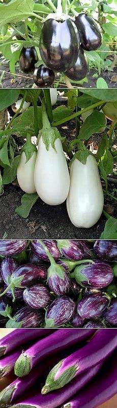 Выращивание баклажанов (пошаговая агротехника).