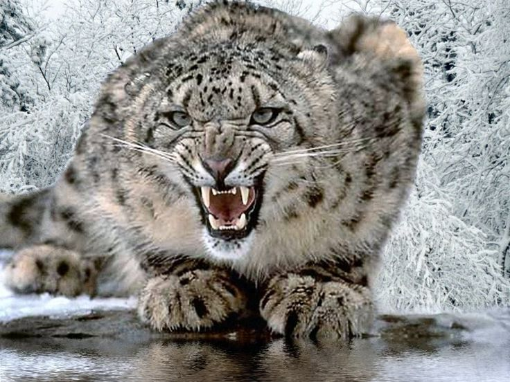 Snow leopard. Wow. That's one angry cat.