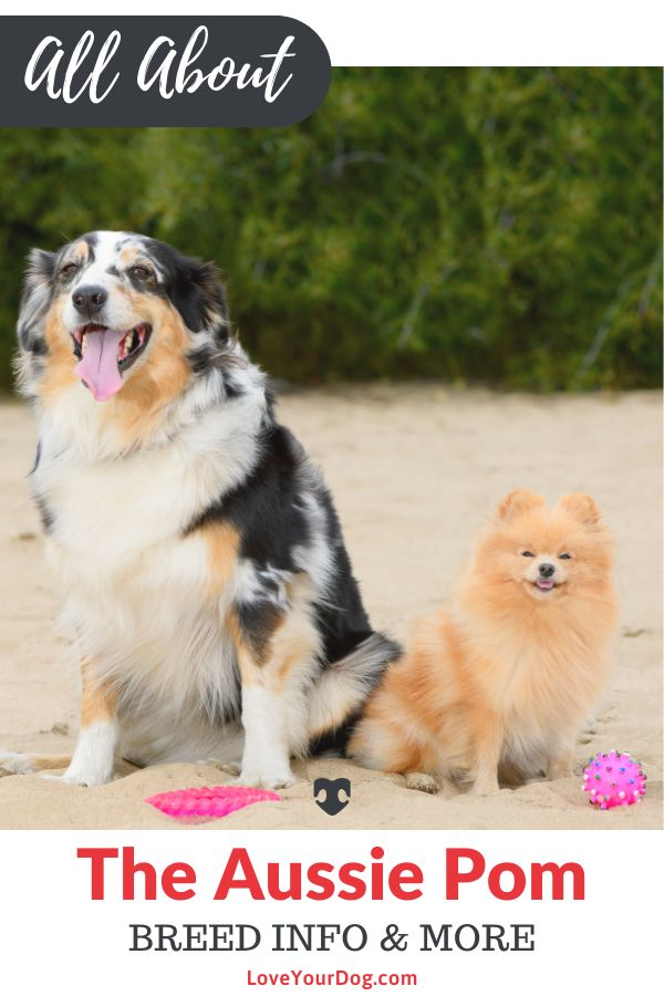 Australian Shepherd Pomeranian Mix Breed Info Puppy Costs More