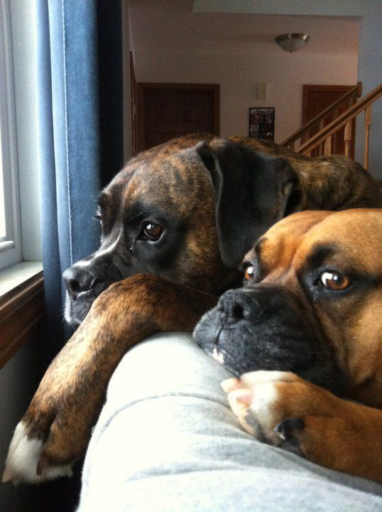 They will always wait for the one they love....Boxer <3