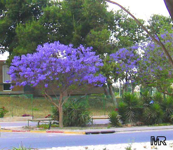 Best Trees for Central Florida | Jacaranda mimosifolia
