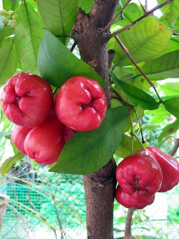 Java Apple or Jambu Samarang (Syzygium samarangense)Taste like Chloe,the perfume.My family loved that fruit.