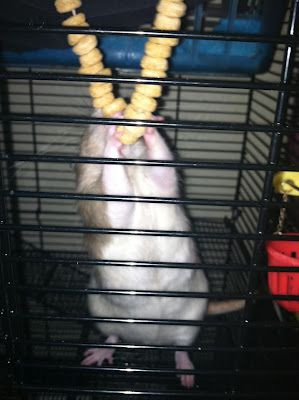 great blog with lots of ideas for environmental enrichment for #rats #DIY