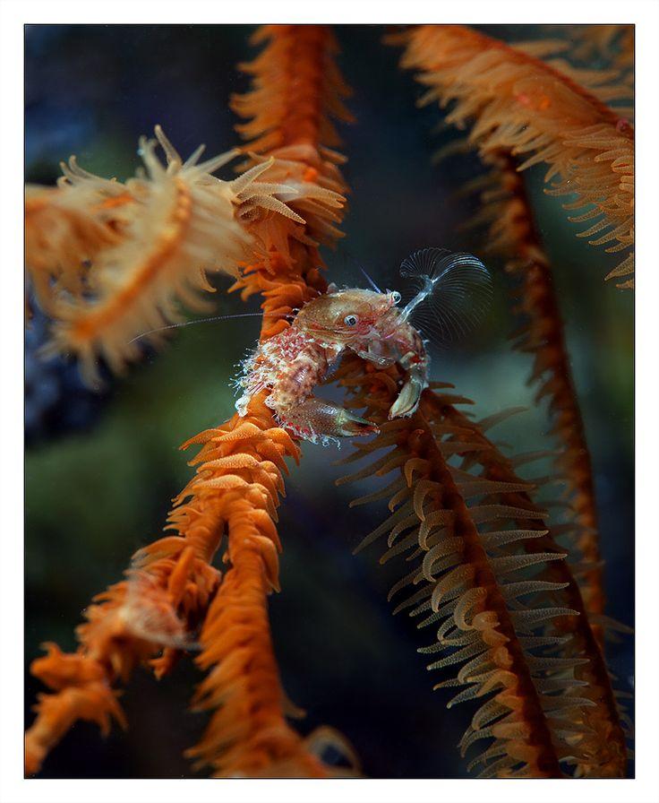 """Ловец. Камбоджа, ночь, крошечный крабик ловит пролетающие мимо него частички планктона. Молнейносное движение его """"ловушкой"""" и очережная порция поймана.   Правда размеры этих самых порций на столько малы что увидеть их даже с тем увеличение что дает оптика почти нереально. Автор: Нарчук Андрей"""