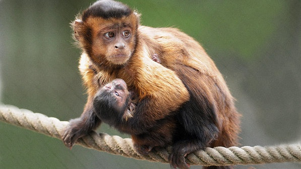 Filhote de macaco-prego de oito dias de idade embalado por sua mãe no Serengeti Park, em Hodenhagen, oeste da Alemanha. Na natureza, esta espécie de macacos é encontrada na América do Sul