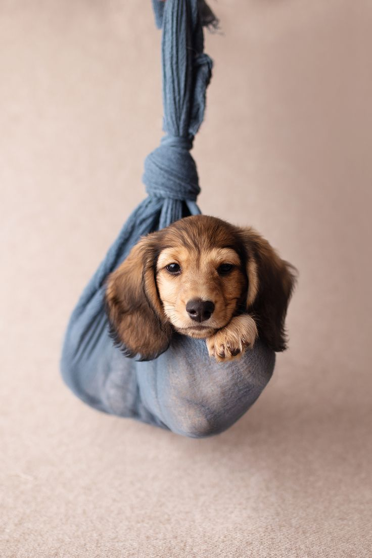 Toronto Dog Photographer Adorable Dachshund Puppy Photoshoot Idea Dog Photograph Puppy Photography Puppies