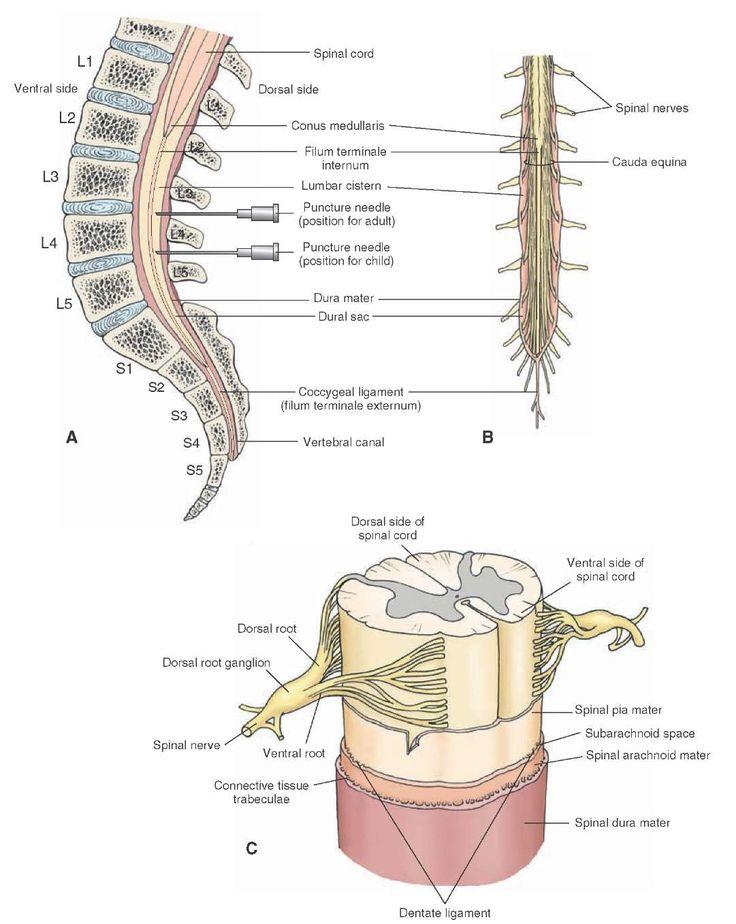 The spinal cord. (A) The lumbar cistern extends from the caudal end of the spinal cord (conus medullaris) to the second sacral vertebra (S2). The subarachnoid space (widest in this region) contains the filum terminale internum (a thin filament). L = lumbar. (B) The subarachnoid space in the lumbar cistern also contains the cauda equina (a bundle of nerve roots of all the spinal nerves caudal to the second lumbar vertebra). (C) The three membranes of the spinal cord: the dura, arachnoid, and…