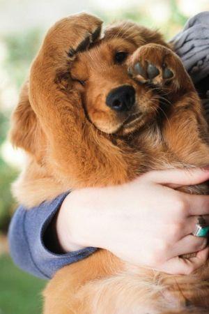 "Red Golden Retriever puppy ""Burbon"" Hiding From The Camera"