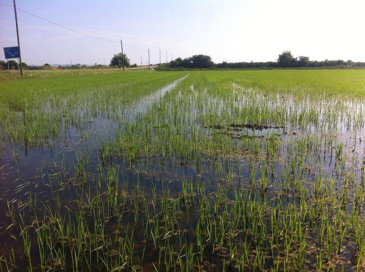 The rice fields of Vercelli #Italian