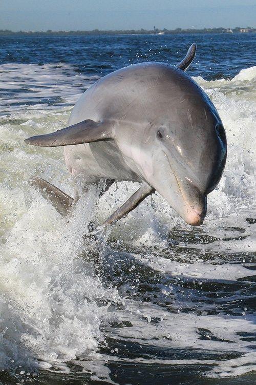 Atlantic Bottlenosed Dolphin (by toryjk)