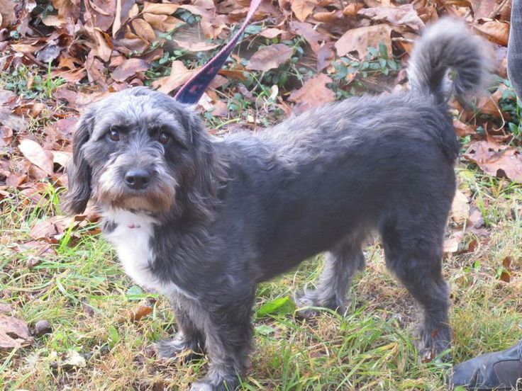 Petfinder Adoptable Dog Wirehaired Terrier Salem, NH