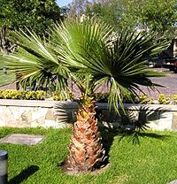 Mexican Fan Palm Tree – Washingtonia robusta The Mexican Fan Palm is native to desert regions of Mexico. The Mexican Fan Palm is cold hardy palm that can tolerate cold down to 15-20F when mature enough. This moderate growing palm is perfect for landscape in USDA zones 8b-11.