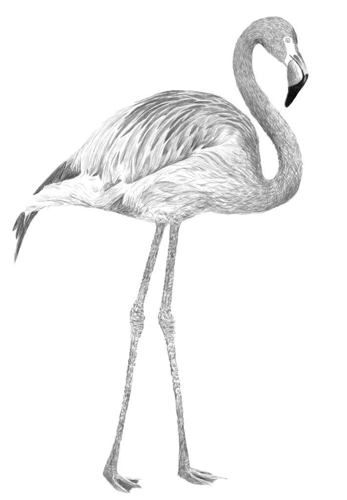 Best 25+ Flamingo Drawings Ideas On Pinterest | Flamingo Flamingo Art And Flamingo Painting