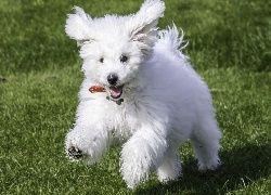 Pies, Bichon, Frise, Biały