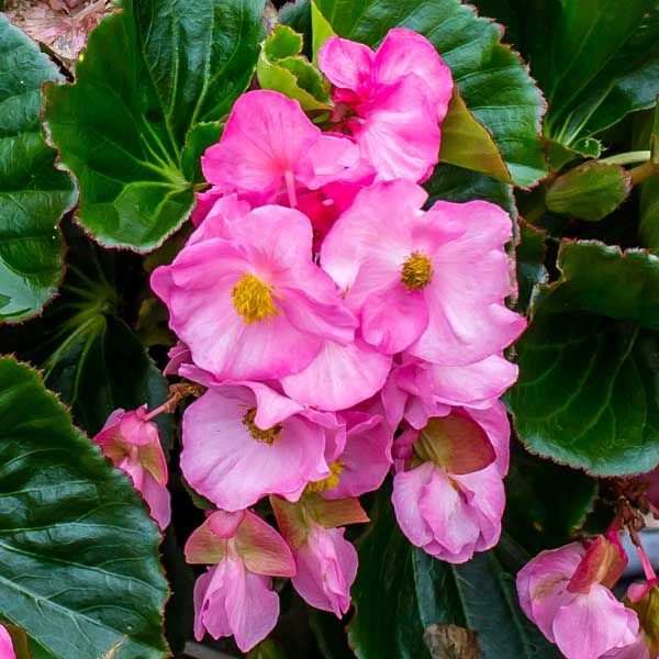 Begonia Tophat Pink Begonia Budget Landscaping Plants