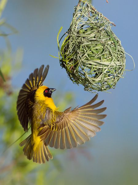 Southern Masked Weaver common throughout southern Africa. Photo by Morkel Erasmus. From www.earthshots.org #Masked #Weaver #Bird #Africa