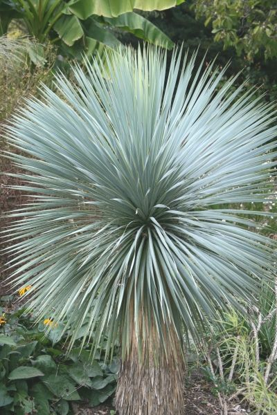 Beaked Blue Yucca for sale buy Yucca rostrata.  Zones 5a-10b