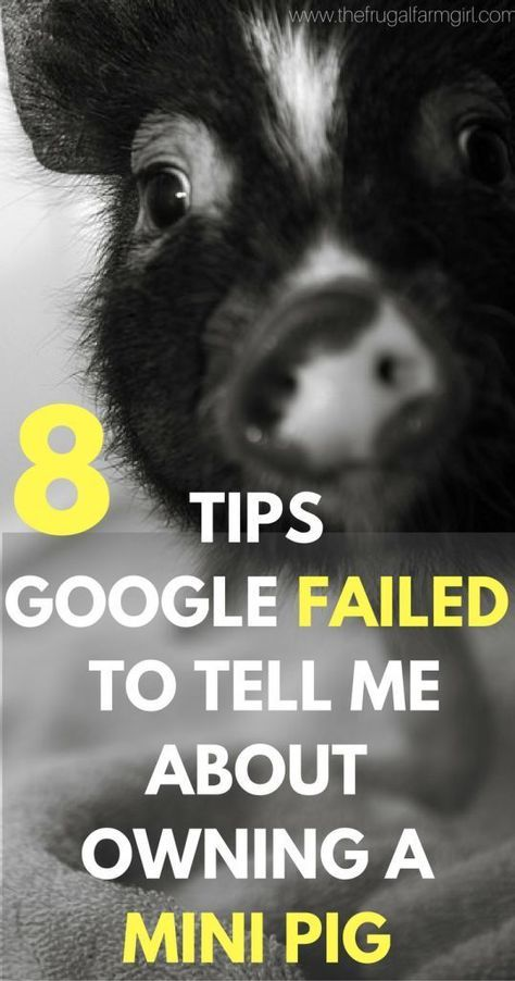 Thinking about adding a mini pig to your home? Check out these tips Google did not tell me and how much I am loving owning one a year later! | tips for owning a mini pig| micro | pet | training | house | pen | care via @tasiaboland