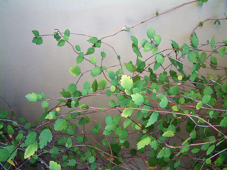 File:Plagianthus-regius-foliage.jpg
