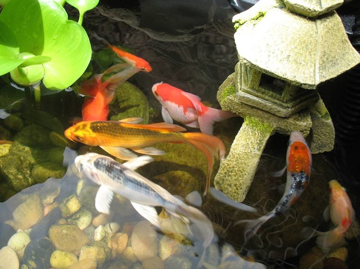 1000 images about koi ponds on pinterest goldfish the for Outdoor goldfish for sale