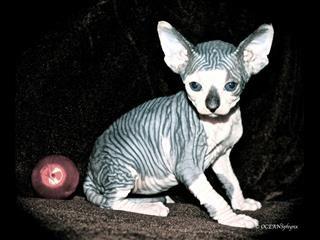 SPHYNX Kittens Purebred (Registered)