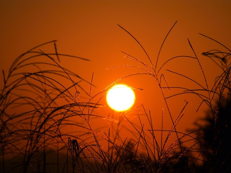 sun and Japanese pampas grasses