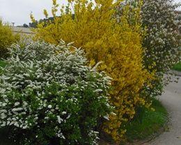 Farbenfrohe Hecken dealerweise werden Sträucher mit kontrastfarbenen Blüten direkt nebeneinander gesetzt. Zur Auswahl stehen gelb blühende Sträucher, wie die Forsythie oder der gelbe Ranunkelstrauch. Lila- weiß- oder rosafarben präsentiert sich der Flieder. Die Zierjohannisbeere besticht mit ihren kräftig roten oder pinkfarbenen Blüten. Für einen weißen Blütentraum sorgt sowohl der Weiß- als auch der Schwarzdorn.