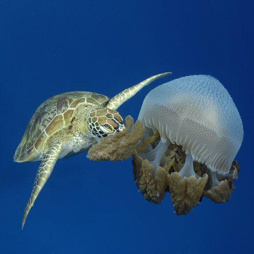 1188 Best Turtles Images On Pinterest Turtles Tortoise