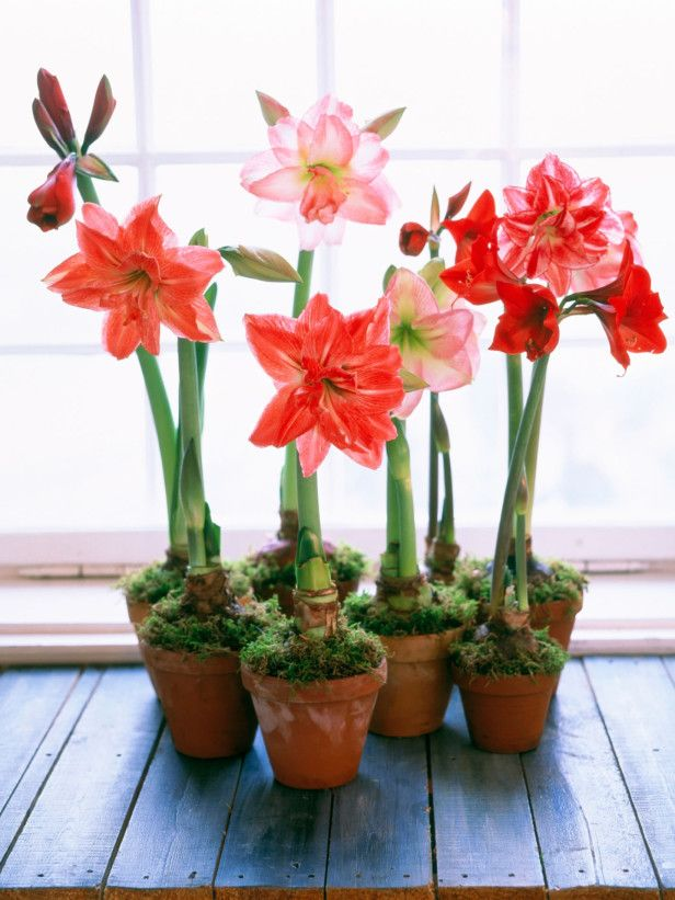 Pots of Amaryllis Amaryllis and other bulbs bloom inside during the winter months and help create an exotic display when grouped together.