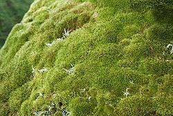 Mousses sur un rocher en Australie
