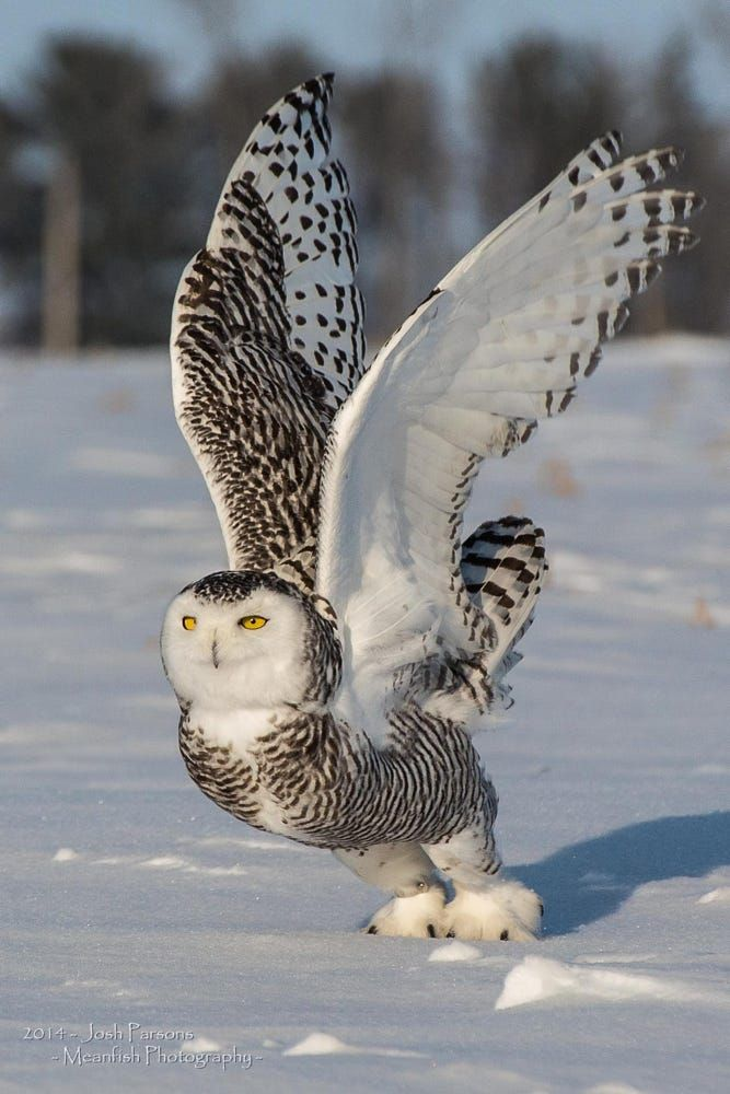 Snowy Owl Launch by Josh Parsons on 500px