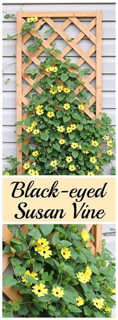 Black-eyed Susan vine - you must plant one of these in your garden this year - it's the vine that keeps going strong all summer long