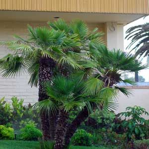 Les 20 meilleures id es de la cat gorie palmier nain sur for Palmier nain exterieur