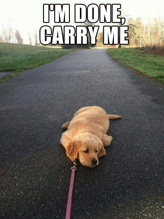 This would be me on a long walk! Lol We've only had Charlie a couple days and he already does this!!!