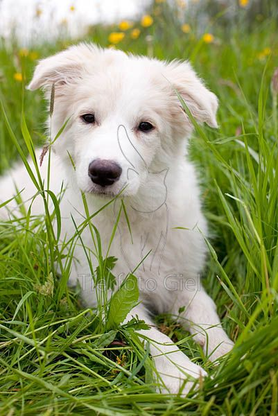 Border Collie  Light Sable Nearly White Love Love Love