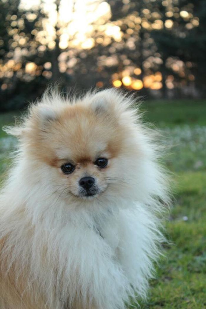Fluffy Pomeranian Yummypets Fluffy Dogs Tiny Fluffy Dog Cute Names For Dogs