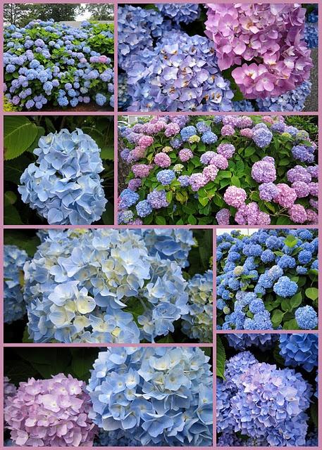 766 best Hydrangea Happy images on Pinterest Hydrangeas, Blue
