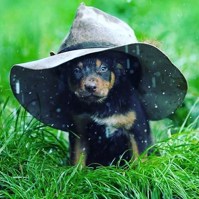Pin By Alysha Pecoraro On Country Life Australian Dog Breeds Aussie Dogs Farm Dogs