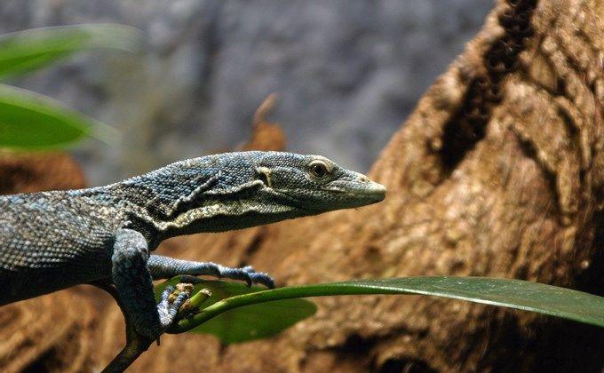 コバルトツリーモニターの飼育方法 値段やケージの大きさ 寿命はどのくらい Woriver 珍しいペット トカゲ ペットショップ