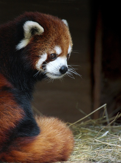 Red Panda - It has reddish-brown fur, a long, shaggy tail, and a waddling gait due to its shorter front legs.
